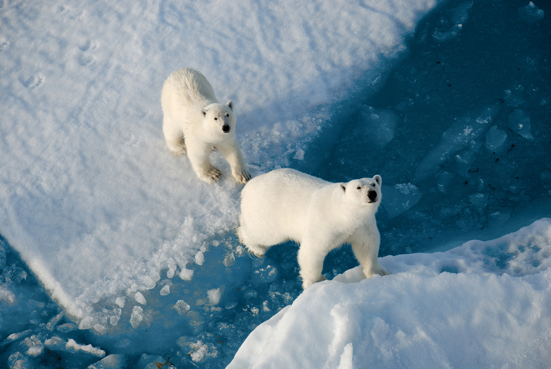 Polar Bear, North Pole cruise