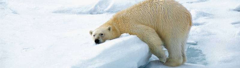 Polar bear, Arctic cruise