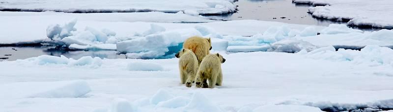 Polar bear with cubs, Arctic cruise