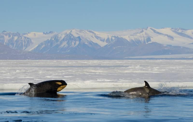orca hunt antarctica