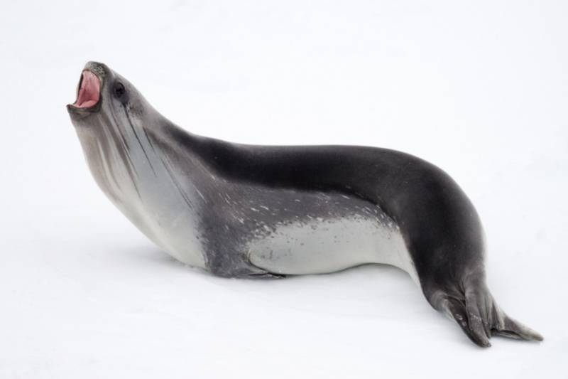ross seal antarctica