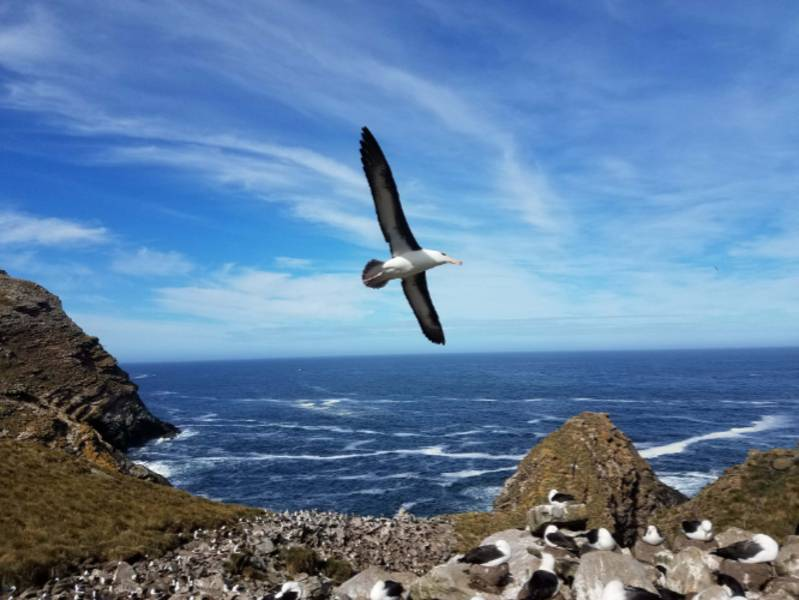 south georgia wandering albatross