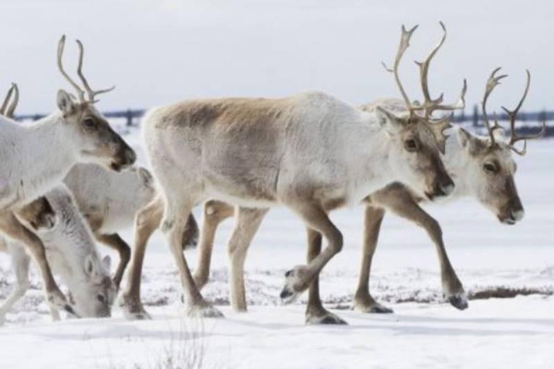 Arctic Haven Lodge caribou