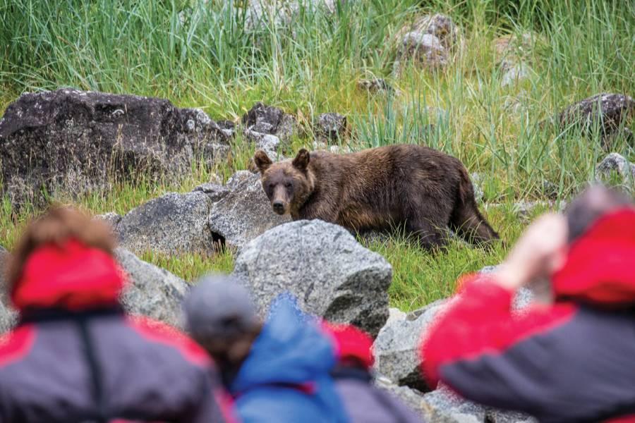 alaska cruise brown bear