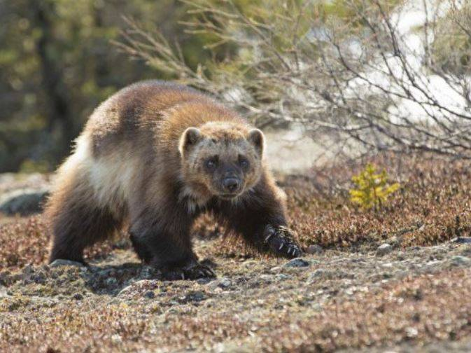 wolverine in the canadian arctic_arctic haven lodge