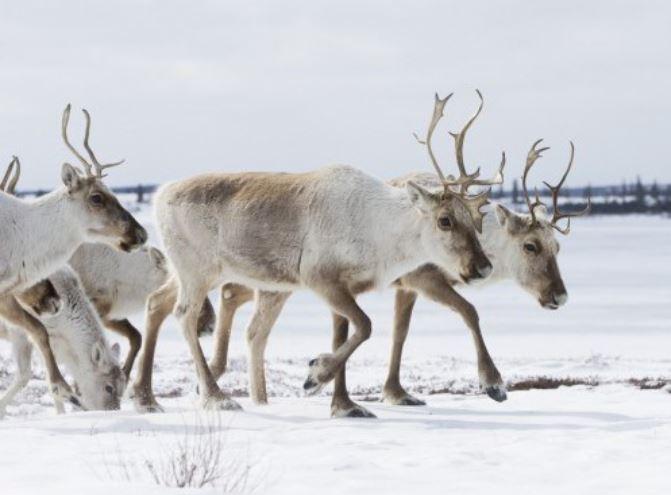 caribou migration in canada