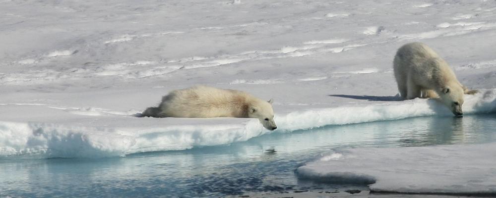 polar bear cruises arctic cruises