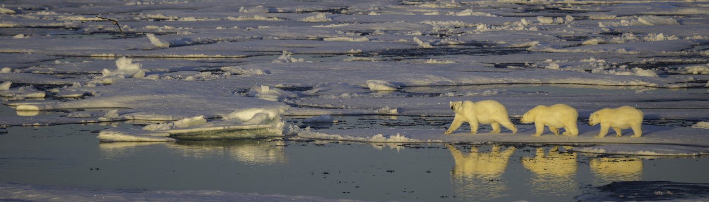 akademik vavilov polar bear cruise