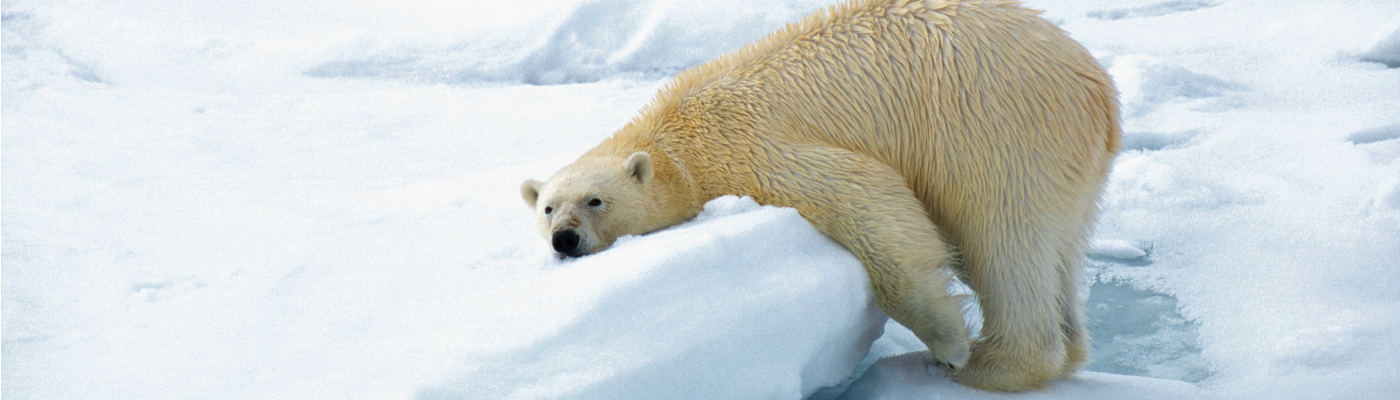 hurtigruten spitsbergen polar bear cruise spitsbergen