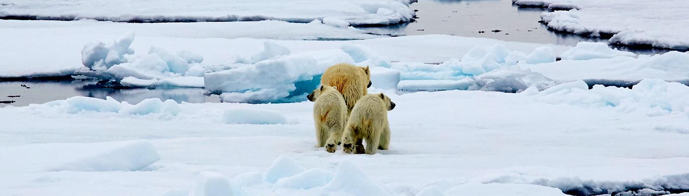 plancius polar bear cruise