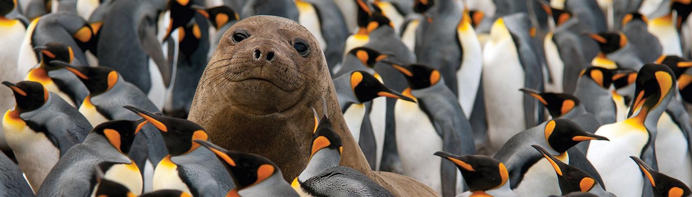 akademik shokalskiy australian and new zealand sub antarctic island cruise