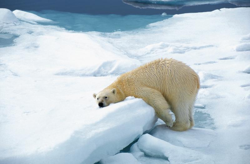 Polar bear. spitsbergen by rinie van meurs 3645874