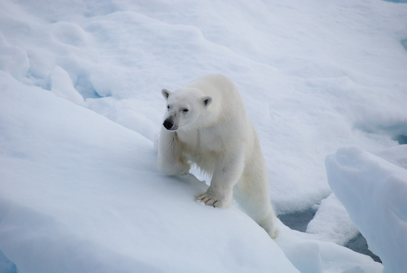 sea spirit spitsbergen polar bear cruise