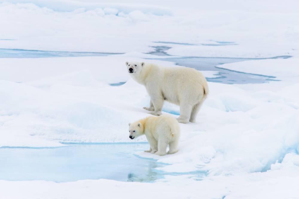 eclipse polar bear cruise