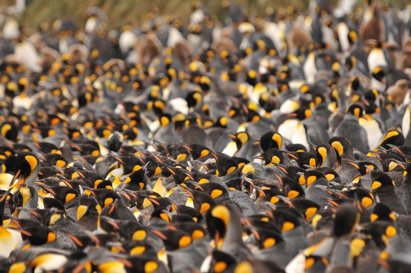 Fsg king penguins salisbury plain