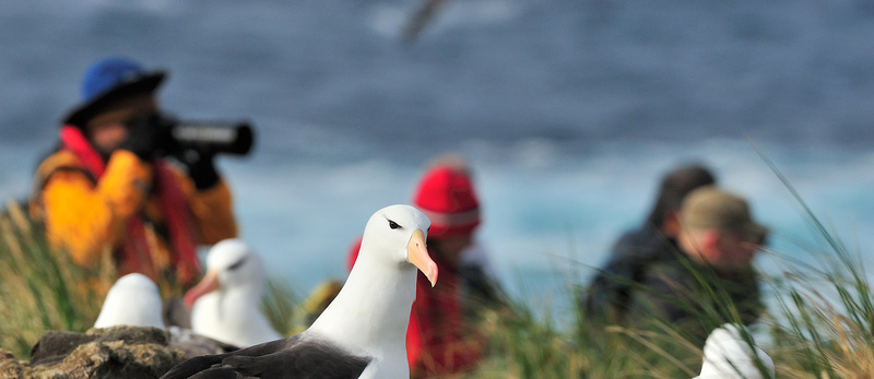 Black browed albatross falkland islands november martin van lokven oceanwide expeditions mvl 20151105 0404 crop2.jpg