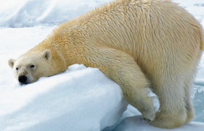 Hurtigruten polar bear