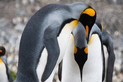 Akademik Ioffe falkland islands south georgia and antarctica cruise