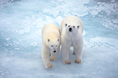 l'austral spitsbergen cruise polar bear cruise