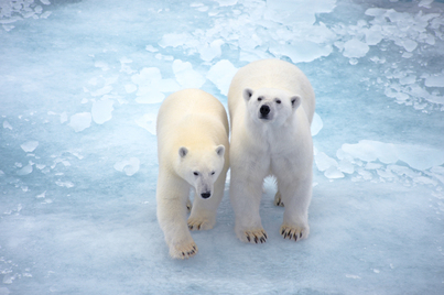Le boreal spitsbergen cruise polar bear cruise