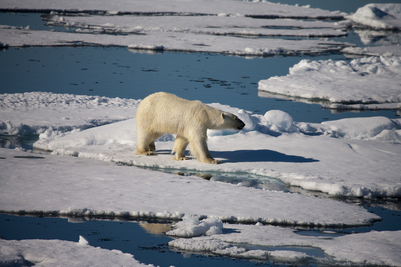 %c2%a9 chrissie goldrick   courtesy of aurora expeditions   polar bear on pack ice spitsbergen