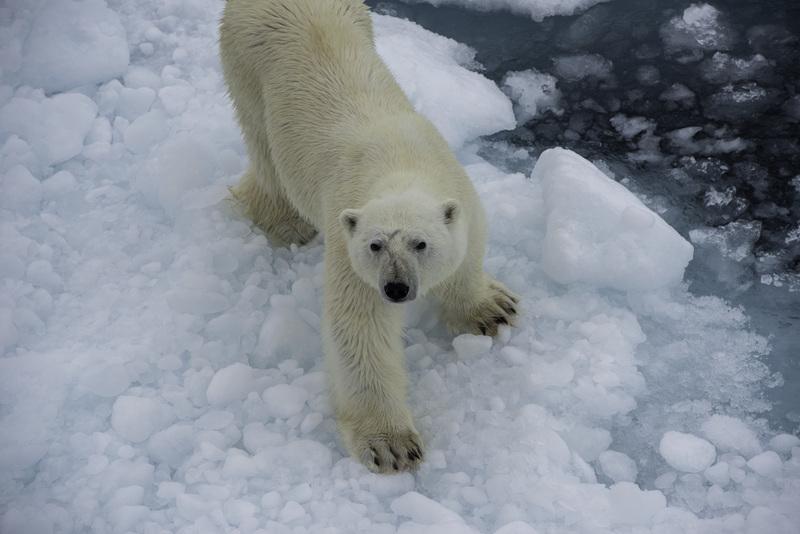 Arctic expedition polar bear ice   pol5264 lg rgb