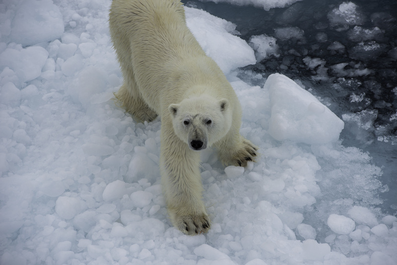 Arctic expedition polar bear ice   pol5264 lg rgb