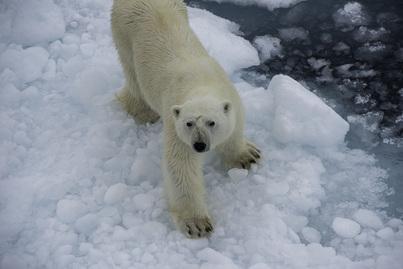 g expedition polar bear cruise