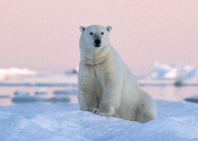 wrangel island polar bear cruise